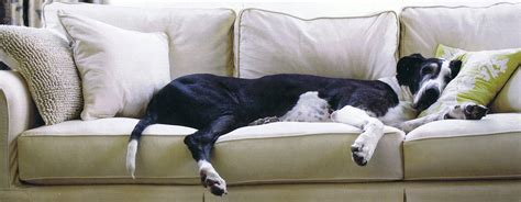 large couch potato dogs 8 of our favorite couch potato dog breeds pet paw