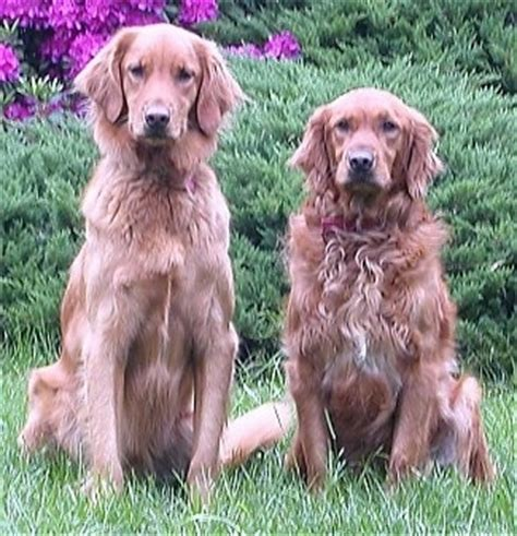 how much is a purebred golden retriever golden retriever breed information and pictures
