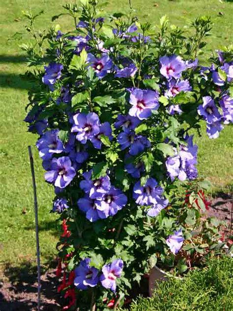 hibiscus syriacus blue bird 3363 bluebird of plants on demand