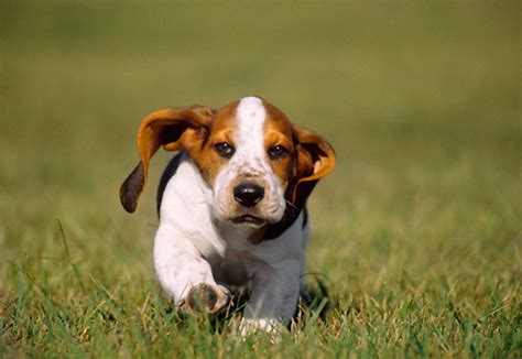 how much are basset hound puppies featuring basset hound puppies for sale