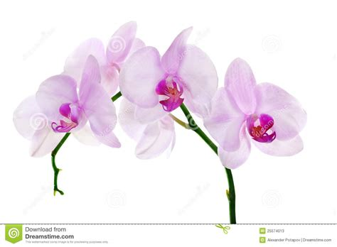 light pink and white white and pink orchid flowers www pixshark com images