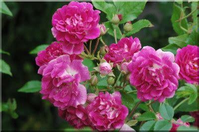 super excelsa super excelsa rosiers grimpants et rosiers lianes 12 50 21 50 histoires de roses com