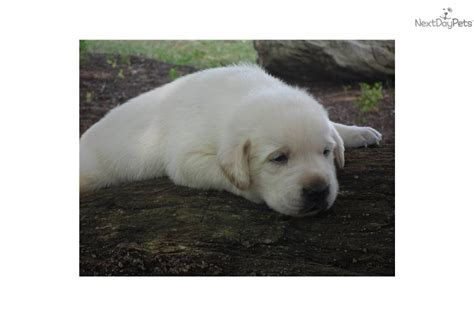 white lab puppies for sale in nc labrador retriever for sale for 600 near carolina d2f154eb 98a1