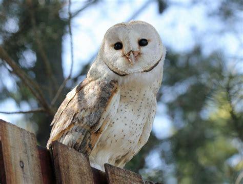 What Is A Barn Owl barn owl of bird