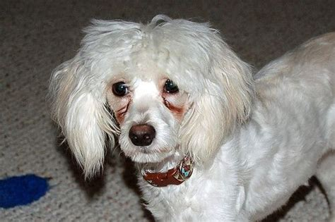 maltese shih tzu eye problems learn six ways to clean tear stains and discharge from your s and surrounding