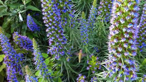 Tv Show Curb Appeal - hummingbird on echium fastuosum at pennsylvania garden youtube