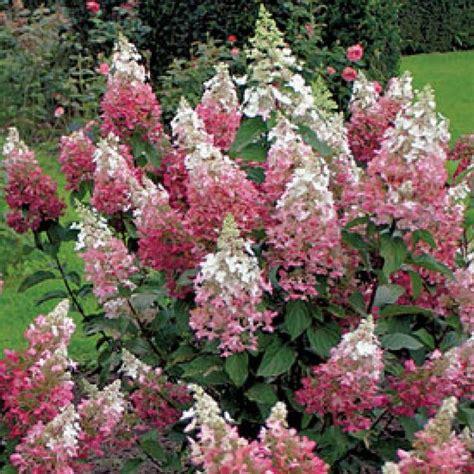 hydrangea pinky winky gardening pinterest