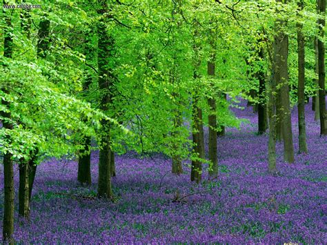 bells trees nature blue bells and beech trees created by si