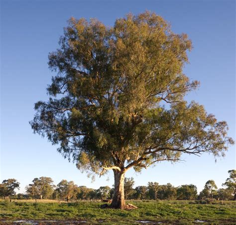 eucalyptus trees how much do you know about the eucalyptus tree check