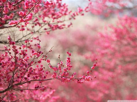 Wallpaper Daun Sakura | kenali jepang bunga sakura