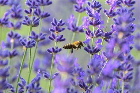 steed company lavender farm growers and creators of