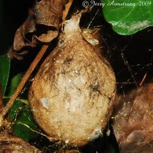 Garden Spider Egg Sac by Yellow Garden Spider Egg Caseing Argiope Aurantia