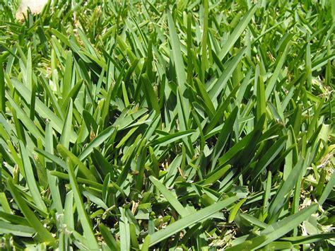 St Grass St Augustine Grass