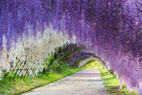 flower tunnel japan wisteria flower tunnel japan 83 unreal places you