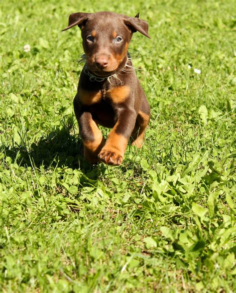 how much are doberman puppies doberman puppy by doberman4life on deviantart