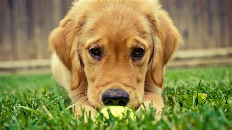 golden retriever background golden retriever wallpapers pictures images