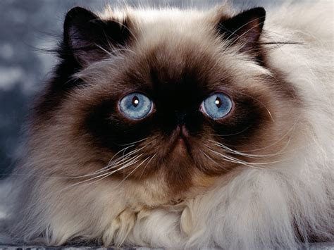 himalayan cats himalayan cat animals library
