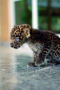 Jaguars Babies Baby Jaguar Animals