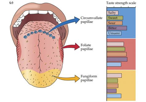 diagram of the tongue and taste buds make buds with your buds josh gitalis