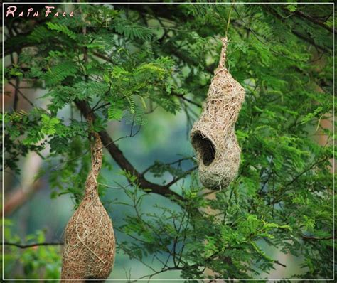 weaver bird nests hanging from tree rainfall a