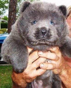panda chow chow puppies for sale chow chow for sale and florida on