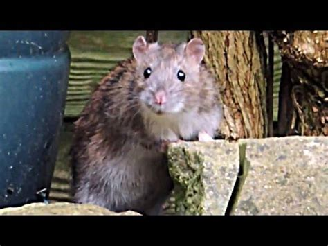 will keeping lights on keep mice away gardening repelling pests how to repel rats from you
