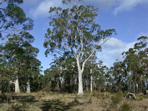 eucalyptus white peppermint gum   plants