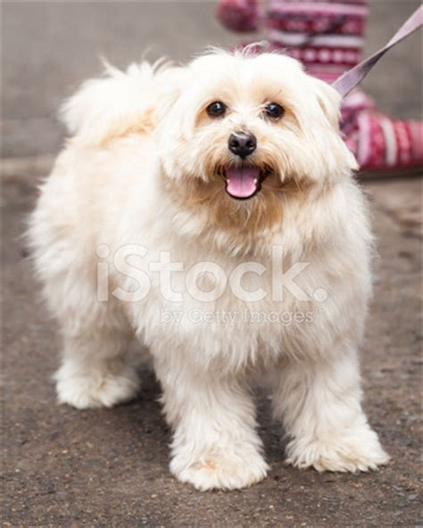 cute young gold lhasa apso dog standing on the sidewalk
