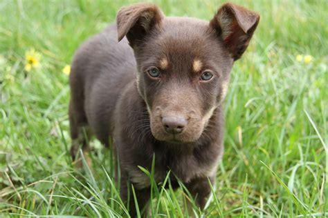 kelpie x rottweiler puppies for sale 700px