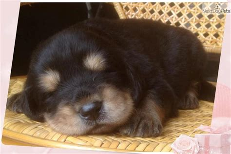 tibetan mastiff puppy for sale tibetan mastiff puppy for sale breeds picture