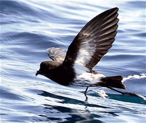 boatswain rowing boatswain bird island