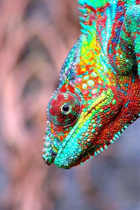 Cd Paket B Chameleons 17 best images about chameleons on fisher chameleon tongue and panthers