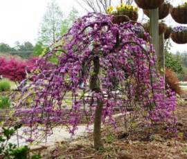 varieties of redbuds cercis canadensis color landscapes