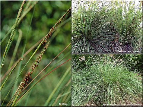 central region ornamental grasses plant id