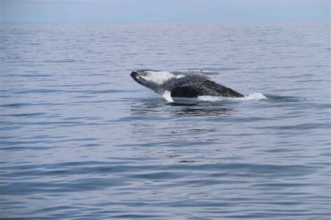 Whale Overall arctic whale dalv 237 k arcticwhales