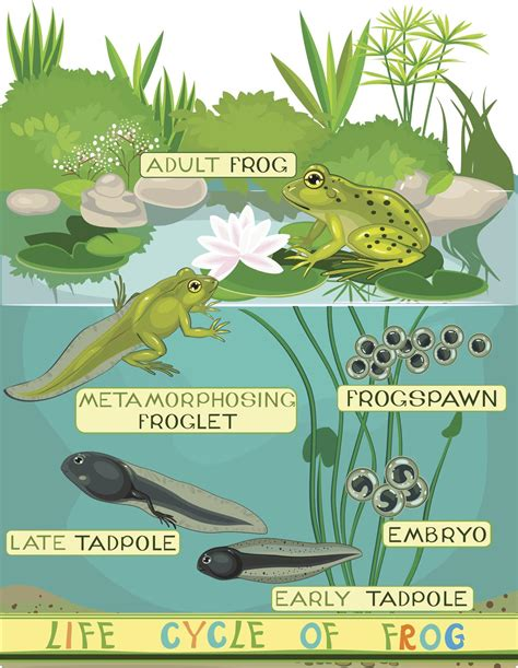Frog Cycle by From Water To Land Explanation Of The Cycle Of A Frog