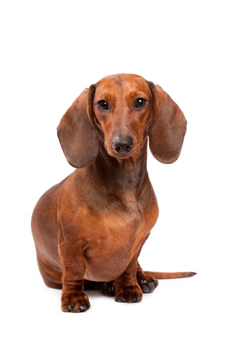 Dachshund Picture And Images