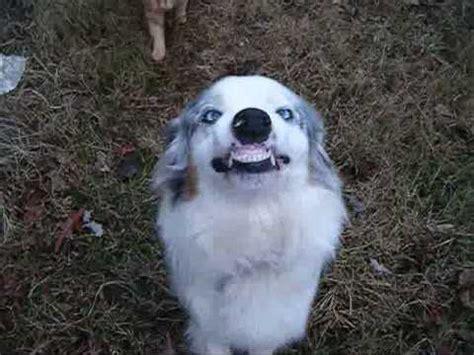 sydney the smiling australian shepherd youtube