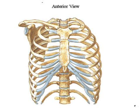 thoracic cage diagram statistics thoracic cage and pectoral girdle