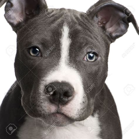 american staffordshire puppies american staffordshire terrier breed history and some interesting facts