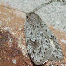 moth photographers group – semioscopis megamicrella – 0915
