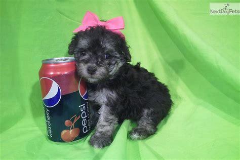 maltipoo puppies for sale in az sweetpea malti poo maltipoo puppy for sale near arizona 1acbbfbf b731