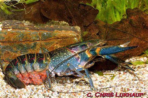 Pakan Udang Lobster Alami kumpulan usaha dan bisnis usaha budidaya