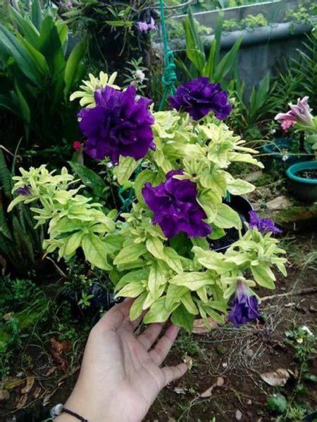 Biji Bunga Petunia biji bunga petunia blue biji petunia tumpuk