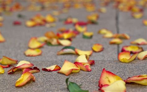 flower petals gardens and flowers hd wallpapers