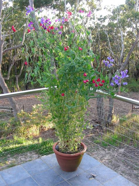 growing sweet peas in containers caring for potted sweet
