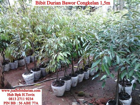 Bibit Unggul Durian Merah the gallery for gt pohon durian merah