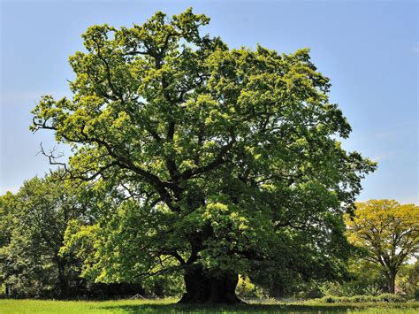 Eiche Bilder by Hundreds Of Previously Undiscovered Ancient Oak Trees