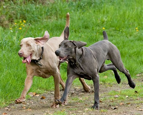 weimaraner colors genetic study of blue weimaraners blue weimaraner today