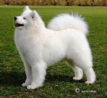 Anakan Anjing Samoyed cari harga anjing samoyed klik harga terlengkap